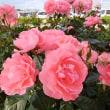 空港の薔薇
