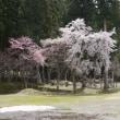 春の坂戸山   桜 カタクリ イチゲ
