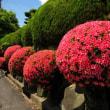 <サツキ(皐月)> 生け垣や公園の植え込み、盆栽にも