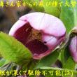 我が家の庭の春