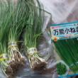 玉ねぎの苗、ネギの種購入