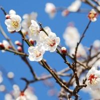 ☆梅の花...♫
