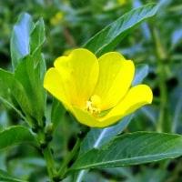 <ミズキンバイ(水金梅)> 金梅草に似て水辺に生える多年草