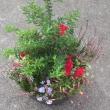 11月度ガーデニング教室はクリスマス寄せ植え