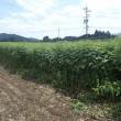 ハブ草の収穫