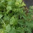犠牲のベビーリーフ 「野菜を隠すなら草の中」