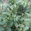 ハウスのミニトマト