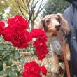 茶々子と薔薇