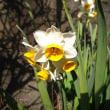 日本水仙(にほんすいせん)という花