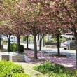 近所の公園の八重桜🌸 毎年綺麗に咲きます(@^^)/~~~