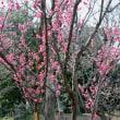 小石川後楽園の梅祭り・・5