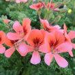 ペラルゴニウムの花は