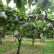 今年も 有家新高梨は 災害のため 収量減の予想です