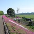 相模川散策路の芝桜(2018)
