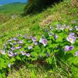 手稲山のシラネアオイ咲き始める