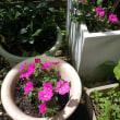 猛暑でも元気な花ーペチュニア