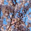 桜まつり。