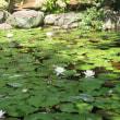 池に咲く、睡蓮