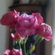 ほぼラストのバラと穂竜の劉君