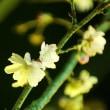 ジュウガツザクラとコブクザクラが咲いていました