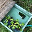 メダカ稚魚池掃除とエビ水槽エーハイム掃除