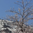 小国町の桜3