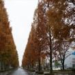 大垣のメタセコイヤ並木