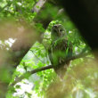 森の奥の方に移動していた、フクロウ。