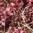 栂池の秋色 ① チングルマの紅葉