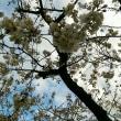 桜満開三歩手前