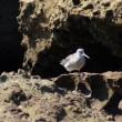 8/23探鳥記録写真-2(狩尾岬の鳥たち:クロサギ、キアシシギ)