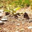 尾瀬沼に テングチョウ が