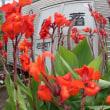 『季節の花』 カンナ