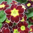 ルル・チョコエッジの花は
