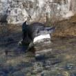 イワトビペンギン控え目な飛び込み