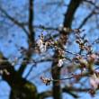 ぼちぼち桜が咲き始めました。