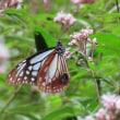 蝶 アサギマダラ(浅葱斑)