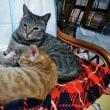 「猫みしり」のネコ