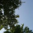 福島県喜多方市、慶徳熊野神社のケヤキと大銀杏です!!