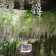 藤のトンネル Muston park