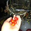 枯れてきても、赤くなりつづけるミニトマト。