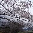 春ですね、桜が咲いて来ました。