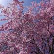 北広島町橋山、県道11号線沿いの紅しだれ桜 2018.04.18