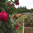 石楠花と薔薇の花