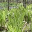 早春の美しい渓流はオショロコマが消えニジマス繁殖