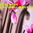 小さな小さな森の妖精(シクラメンのピコ)