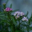 ヤロウの花