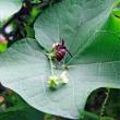 ハヤト瓜の花