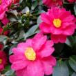 「おはようの花」  カンツバキ(寒椿)1月