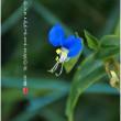 青花/つゆ草